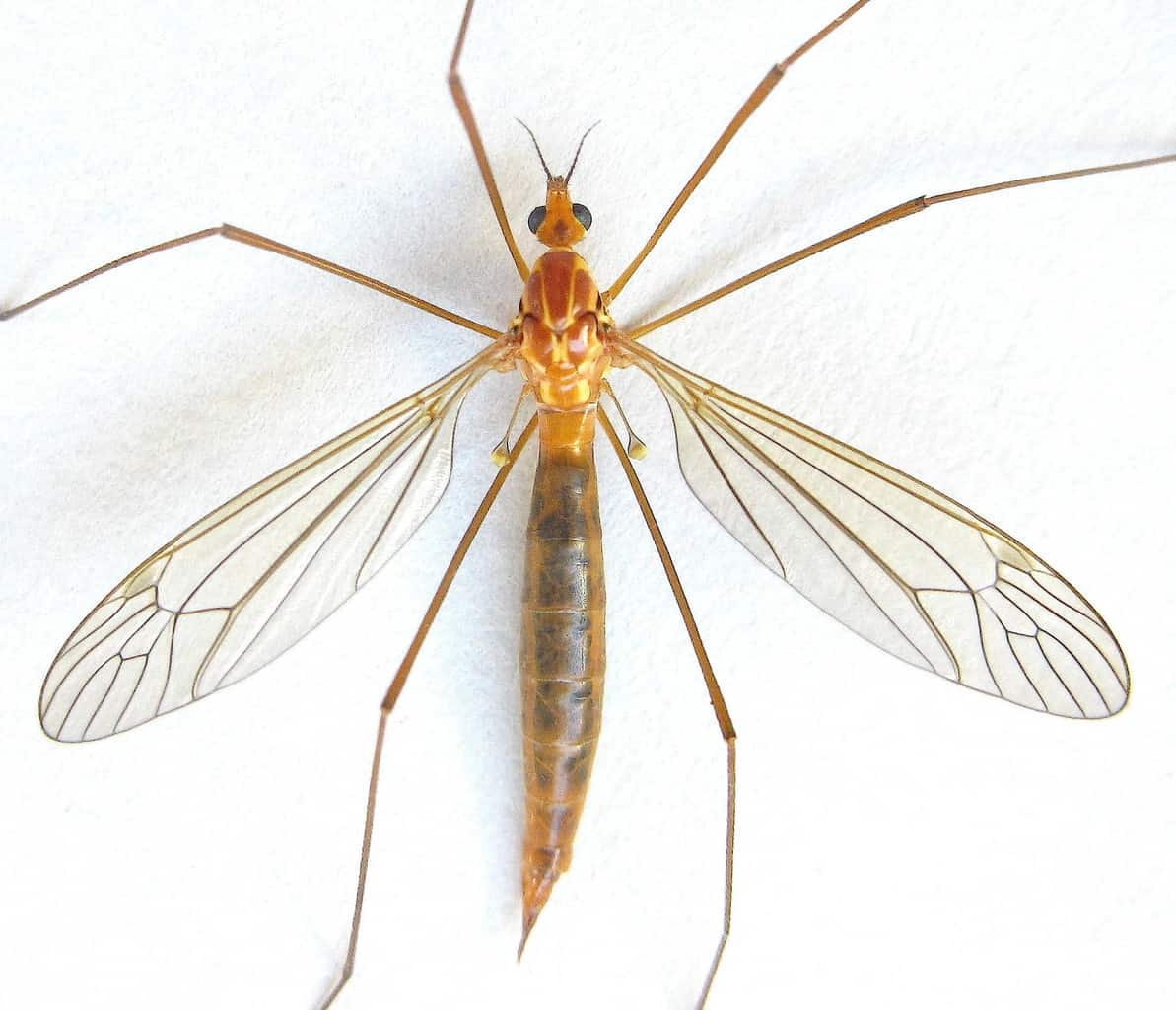 Bug Wild- Mosquito Eaters | Mountain Valley Living for mosquito eater vs mosquito  61obs