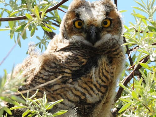Critters- The Great  Horned Owl