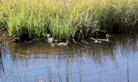 Video Almanor Geese By Molly
