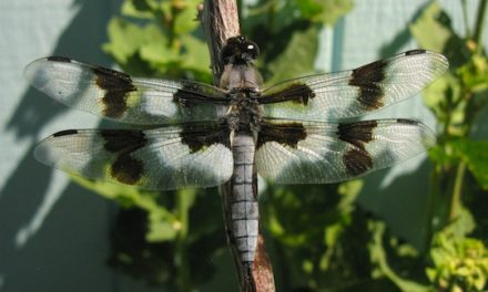 The Eight-Spotted Skimmer Dragonfly