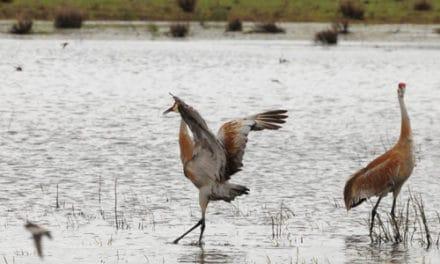 The Dancing Sandhill Cranes