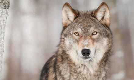 Wolves Return To  Northern California-Shasta & Lassen Packs Confirmed