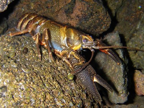 Crawdads, Crayfish,and Mud Bugs!