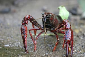 Swamp Crayfish
