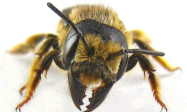 Pugnacious Leaf-cutter Bee