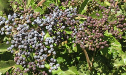 Food From The Wild Elderberries
