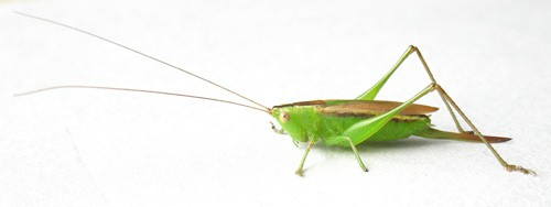 Bug Wild -The Pacific Meadow Katydid, Sometimes Heard but Rarely Seen
