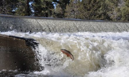 The Eagle Lake Trout – Back From the Brink