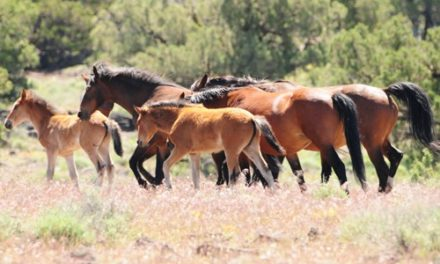 Wild Horses In Our Midst