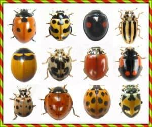 ladybug species