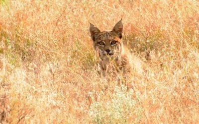 Bobcat at Antelope Lake
