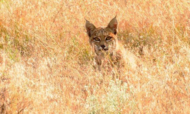 Bobcat at Antelope Lake