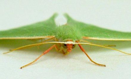 Emerald Moths
