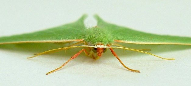 Emerald Moths