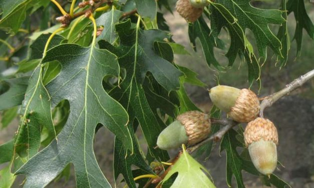Acorns – The Preeminent Wild Plant Food