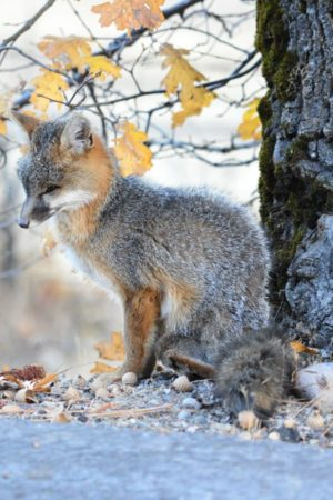 Grey Fox Jan Ramelli