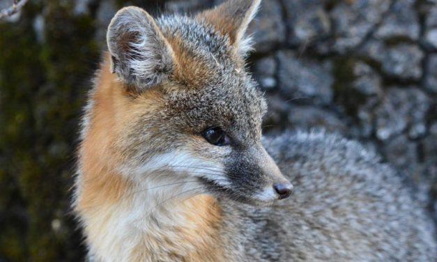 Grey Fox(urocyon cinereoargenteus)