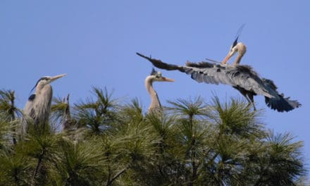 The Great Blue Heron Rookery